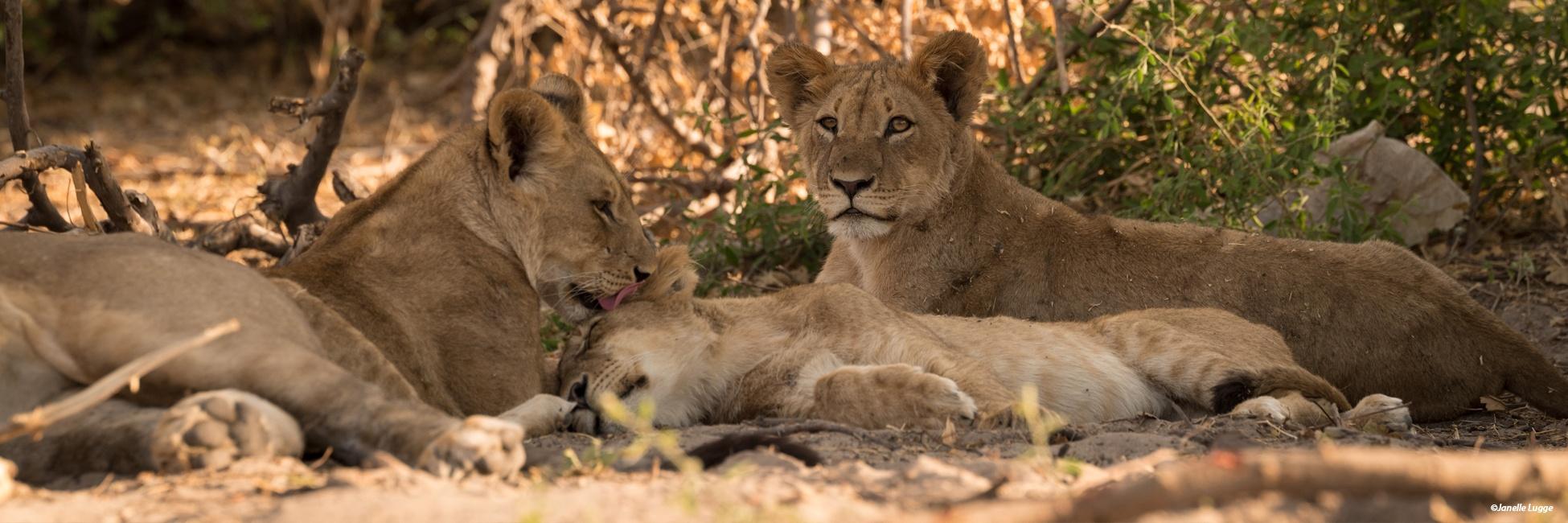 Lions, Afrique australe