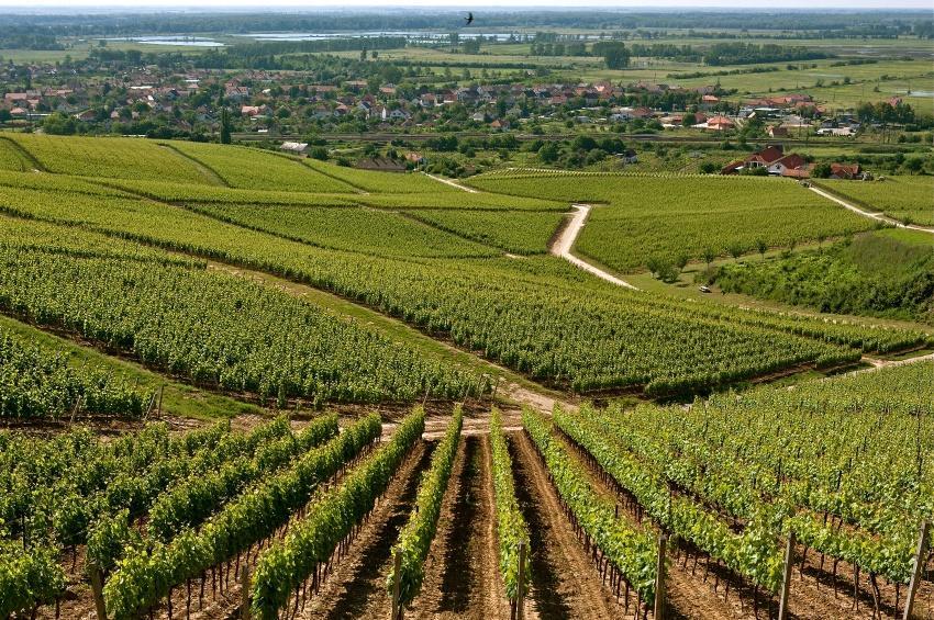 Vignoble de Tokaj en Hongrie