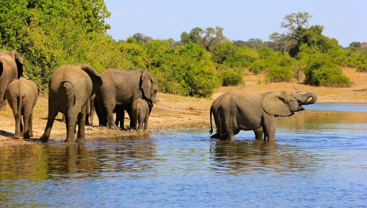 Éléphants sur les berges de la rivière Chobé