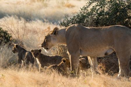 Lionne et lionceaux en Namibie