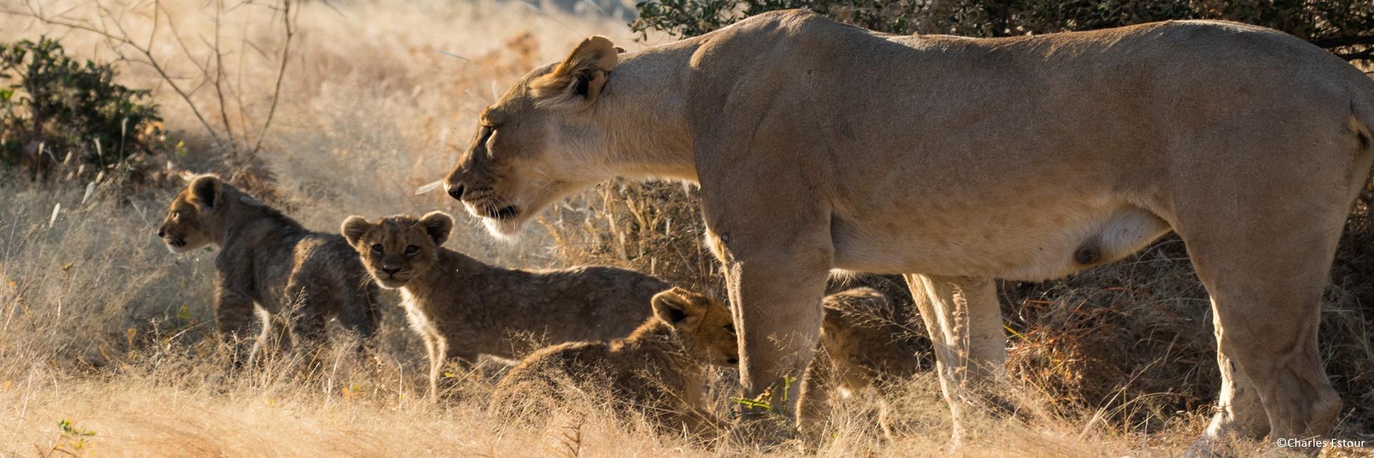 Lions d'Afrique Australe