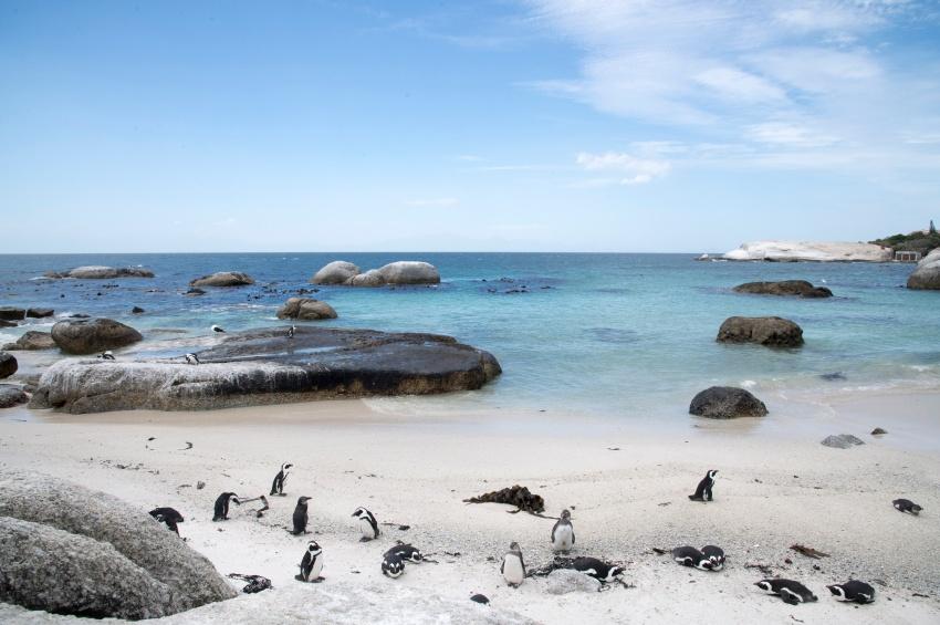 Manchots sur la plage en Afrique du sud