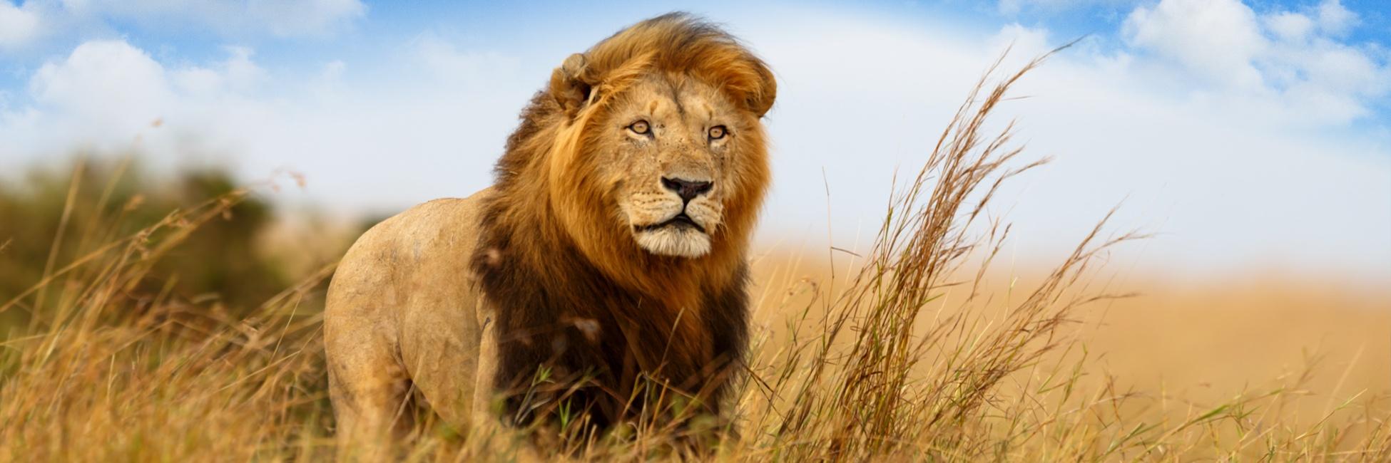 Lion, Afrique australe
